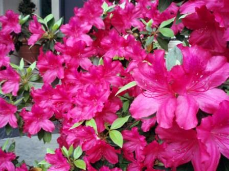 azaleas-in-dallas.jpg